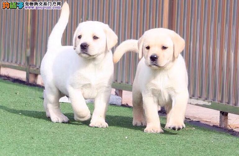 自家繁殖拉布拉多24小时可看狗免费送货上门对外配狗