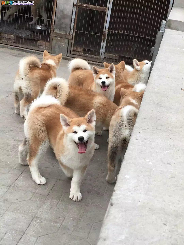 养殖基地繁殖精品秋田犬 纯种 包健康 可看种犬和母犬