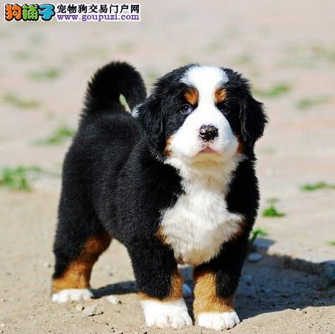 三色、长腿纯种瑞士伯恩山幼犬 保健康可签协议书