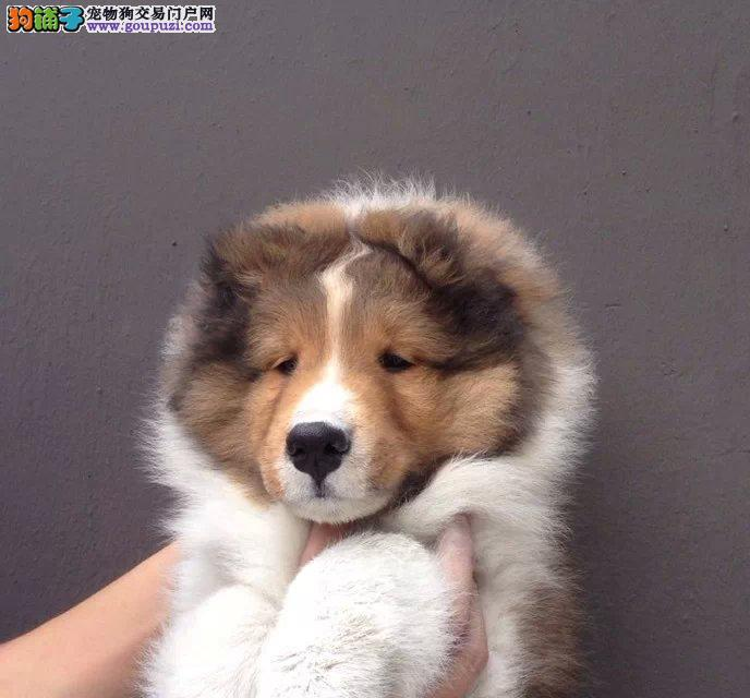 苏格兰牧羊犬 犬舍长期繁育出售 健康纯种苏木幼犬