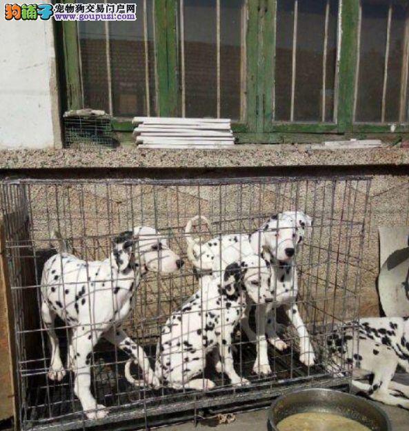 健康纯种大麦町犬 纯种斑点犬出售