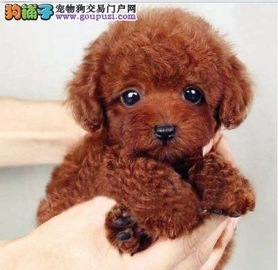 小体泰迪熊幼犬、保纯种健康多窝挑选、免费送货签协议