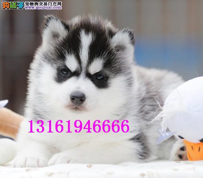 专业犬舍繁殖基地常年出售各类世界名犬