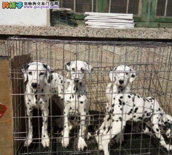 斑点犬 纯种大麦町犬 健康纯种幼犬