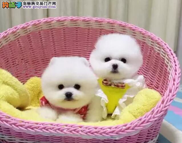 狗场直销各种名犬出售纯种博美价格 可签协议