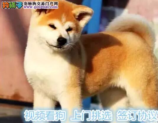包养活,签协议家养一窝纯种聪明日本秋田犬幼犬转