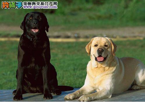 狗场直销各种名犬出售纯种拉布拉多价格 可签协议