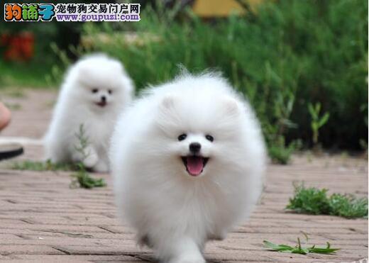 专业养殖基地出售纯种博美犬 多少钱一只可签协议