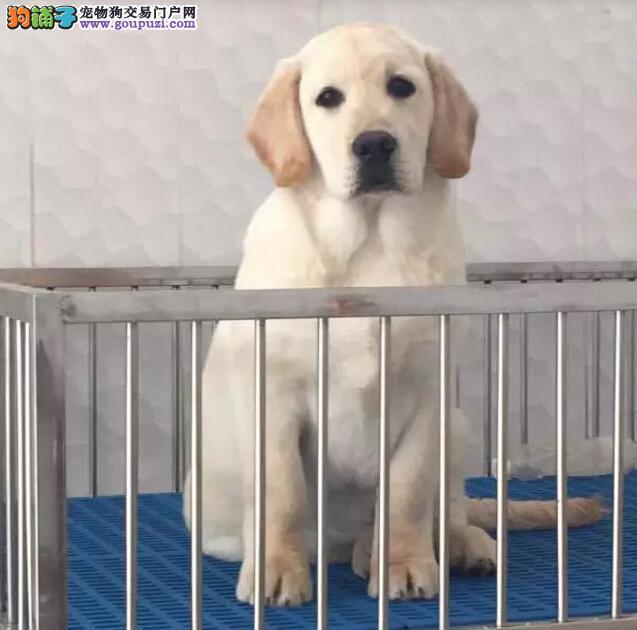 专业养殖基地出售纯种拉布拉多犬多少钱一只可签协议