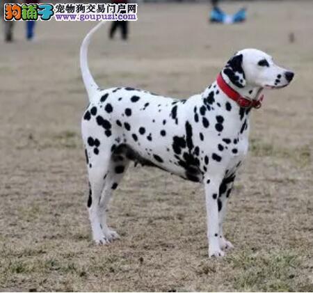 专业养殖基地出售纯种斑点狗 多少钱一只可签协议