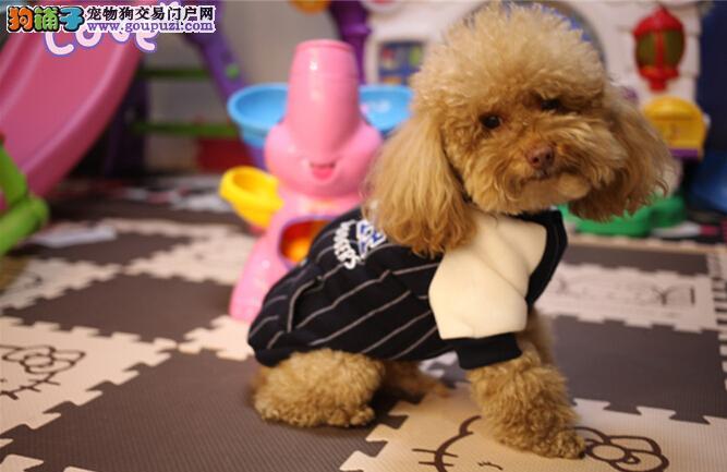 专业养殖基地出售纯种泰迪犬 多少钱一只可签协议
