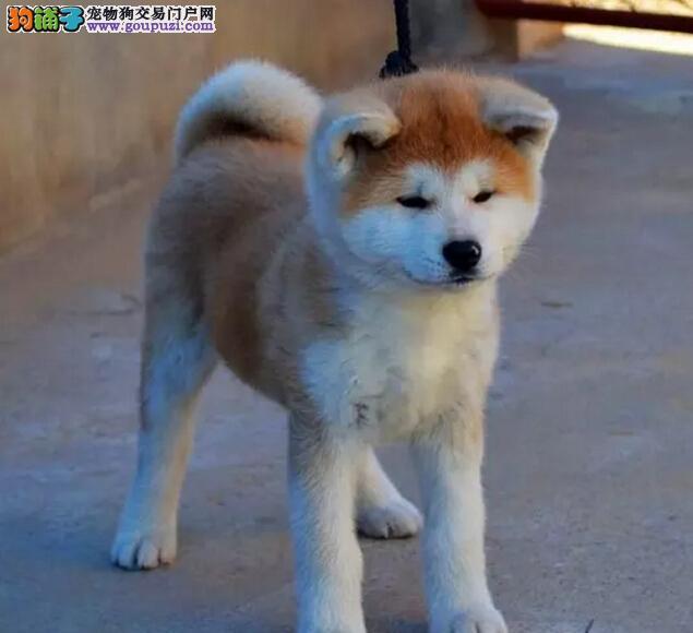 家养一窝纯种精品秋田犬幼犬出售包健康纯种