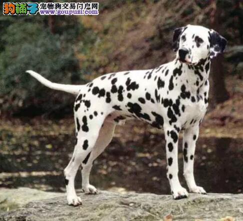 精品斑点狗出售 哪里有斑点狗多少钱一只疫苗驱虫做齐