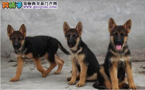 精品狼狗出售 哪里有狼狗多少钱一只疫苗驱虫做齐