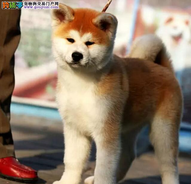 纯种秋田犬出售哪里有秋田犬多少钱一只可签协议