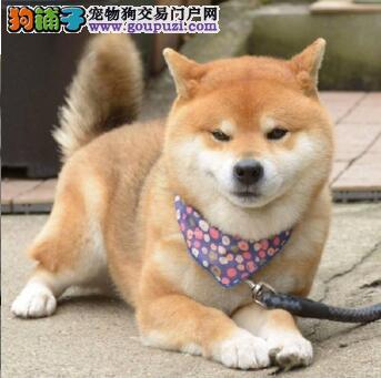 纯种日本柴犬出售 哪里有柴犬卖 带血统柴犬