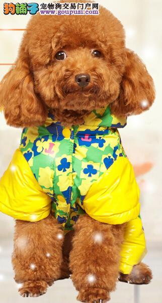 纯种贵宾犬多少钱一只 双血统贵宾犬出售