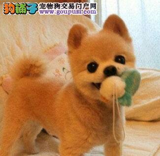 纯种球型博美 哪里有袖珍犬卖 双眼皮俊介博美