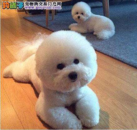 纯种比熊犬多少钱一只 哪里有纯种比熊犬