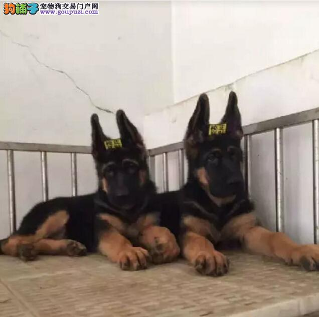 纯种狼狗出售 哪里有狼狗多少钱一只支持全国发货