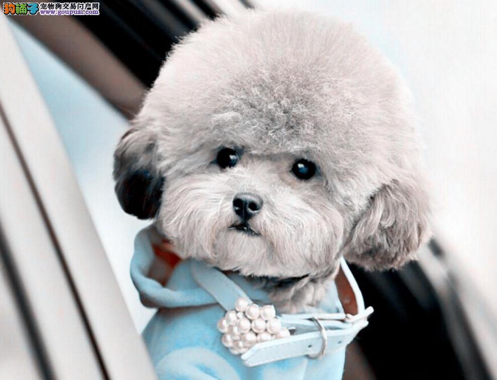 纯种茶杯犬多少钱一只 茶杯犬泰迪 茶杯犬博美