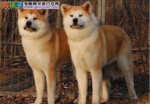 日系秋田犬专卖、训练过:坐、立、卧、上厕所都会