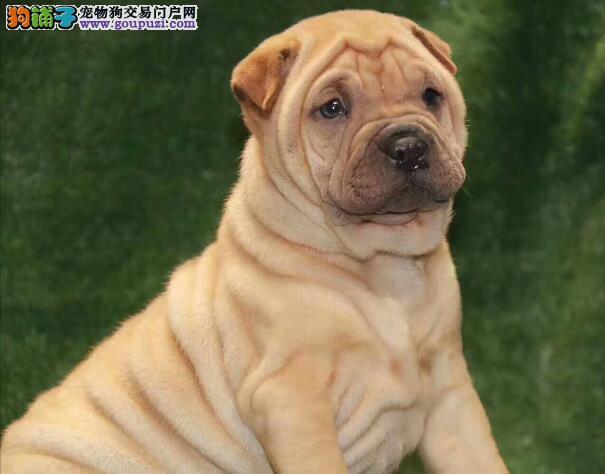 自家繁殖纯种沙皮狗幼犬出售纯种沙皮犬保健康