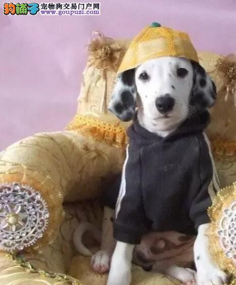 家养一窝纯种精品斑点狗幼犬出售包健康纯种