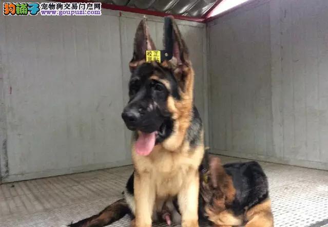 基地直销德国牧羊犬幼犬 黑背 弓背 ;狼狗出售