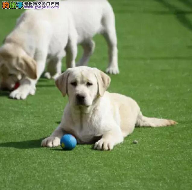 神犬小七拉布拉多同款出售 签协议包养活质量全包