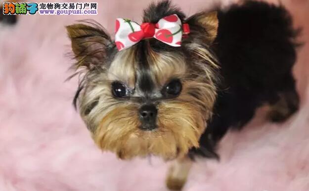韩版超小体约克夏犬、金头银背茶杯体约克夏幼犬销售