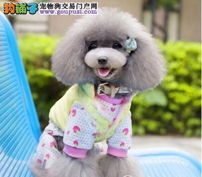 泰迪比熊博美小型犬繁殖基地,正规养殖完美售后保障