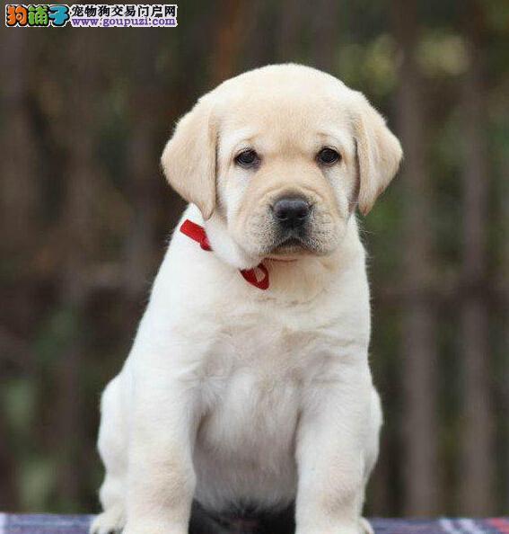 纯种忠实拉布拉多导盲犬出售各种颜色都有