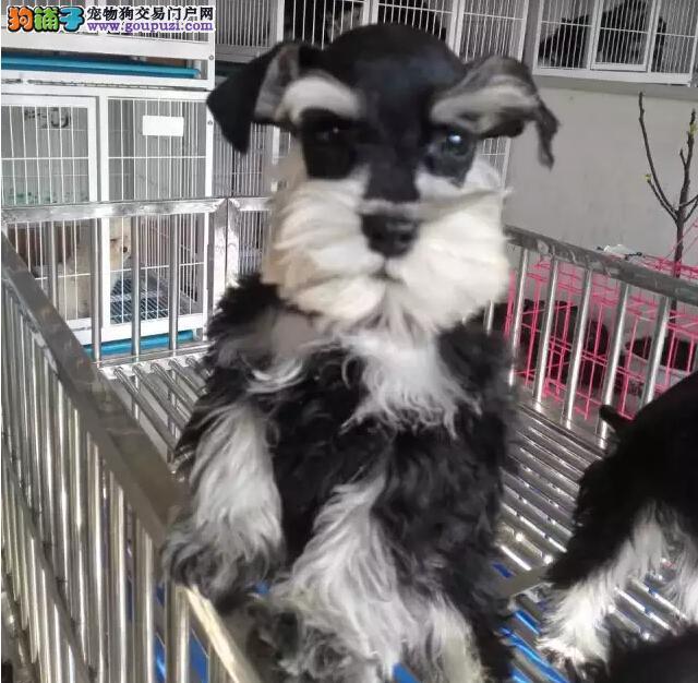 纯种雪纳瑞幼犬 超萌个性化雪纳瑞 椒盐色雪纳瑞出售