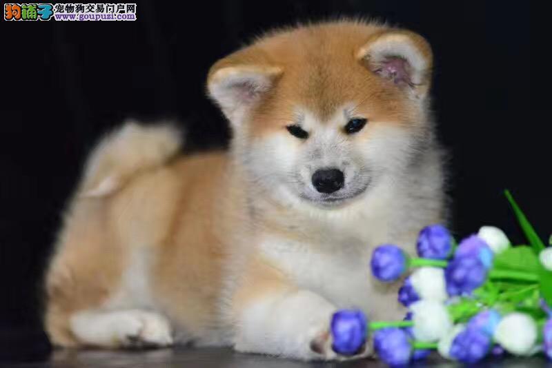 精品宠物繁殖基地长期出售秋田幼犬保证品质健康