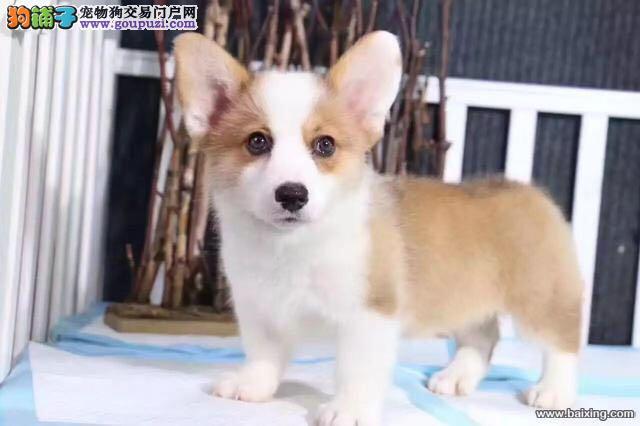 高品质双色 三色柯基幼犬 可见父母、签协议 可送货