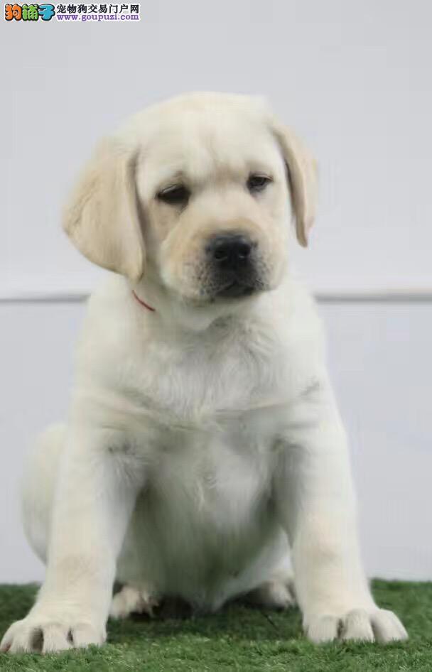 神犬小七拉布拉多 智商高头版好大骨量 纯种健康