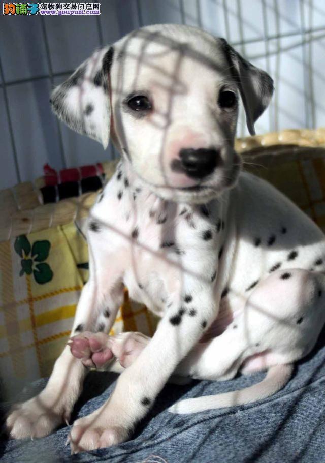 专业繁殖斑点大麦町犬 幼犬出售 疫苗做齐欢迎咨询挑