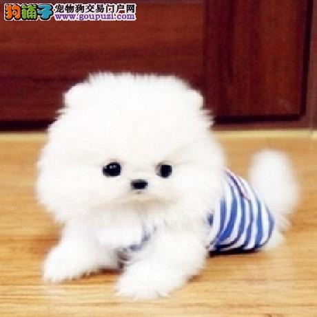 出售精品博美犬、完美品相 品质第一、提供养护指导