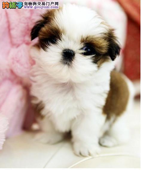 CKU认证犬舍 专业出售极品 西施犬幼犬繁殖中心