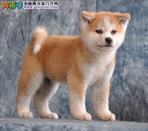 CKU认证犬舍 专业出售极品 秋田犬幼犬繁殖中心