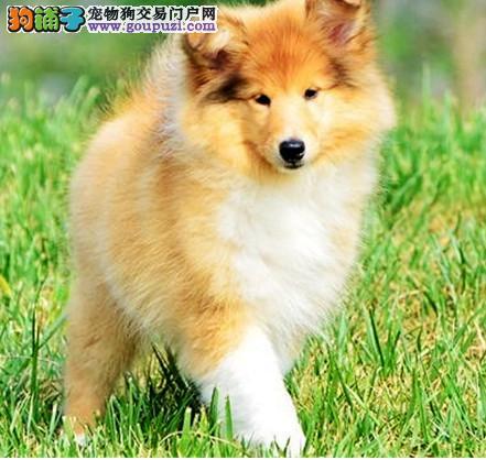 CKU认证犬舍 专业出售极品 苏格兰牧羊犬幼犬繁殖中心