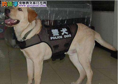 神犬小七同款拉布拉多犬出售 拉布拉多图片