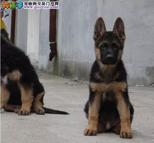 精品锤系大头德国牧羊幼犬带血统证书有 狼狗出售