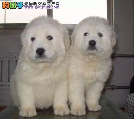 1200出售精品纯种大白熊