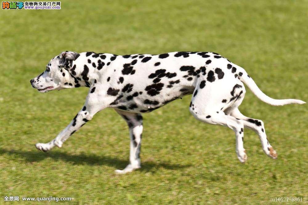 宠物养殖基地长期出售纯种斑点狗多少钱