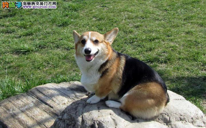 宠物基地长期出售纯种柯基犬多少钱
