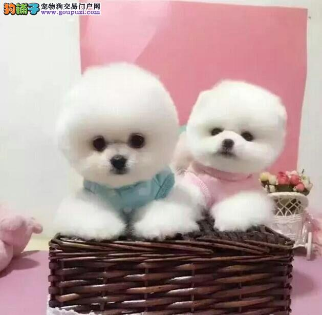 尊宠犬舍长期出售纯种博美俊介,博美多少钱