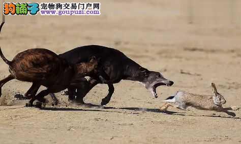 宠物养殖基地长期出售纯种狼狗多少钱