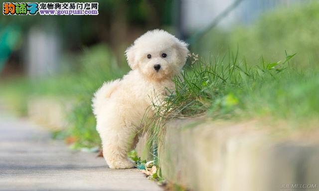 尊宠犬舍长期出售纯种比熊 比熊多少钱